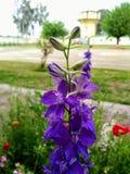 Blauwachtige bloem Stock Afbeelding