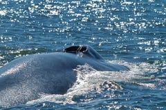 Blauwal, der einen Atem nimmt Stockfotografie