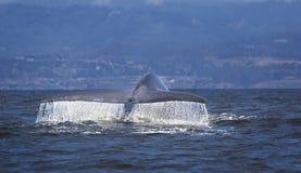 Blauwal-Plattfisch Stockfoto