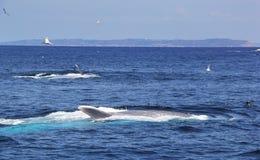 Blauwale, die weg vom Point Loma einziehen Lizenzfreies Stockbild