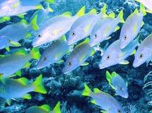 Blauwbaars die door een ertsader zwemt Stock Afbeeldingen