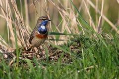 Blauwborst in het gras Stock Foto's