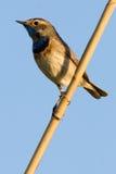 Blauwborst (svecica Luscinia). Stock Afbeelding