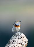 Blauwborst (svecica Luscinia) Royalty-vrije Stock Foto's