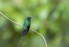 Blauwbuikamazilia, colibri Aciéreux-exhalé, saucerott d'Amazilia photo libre de droits
