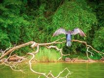 Blauwe aalscholver met lange staart die op een dikke tak van lar zit royalty-vrije stock afbeeldingen