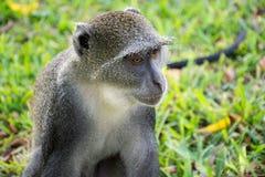 Blauwe aap in Kenia dichtbij mitis van de kustcercopithecus van het dianistrand royalty-vrije stock afbeelding