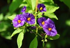 Blauwe aardappelstruik (Lycianthes-rantonnetii) stock afbeeldingen
