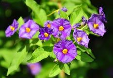 Blauwe aardappelstruik (Lycianthes-rantonnetii) stock foto's
