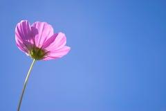 Blauwe achtergrond van de kosmos de roze bloem Stock Afbeeldingen