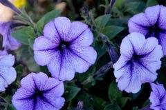 Blauwe Aderpetunia, de Blauwe Ader ` van Petuniaatkinsoniana ` Stock Fotografie