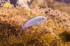 Blauwe Afrikaanse Cichlid van Meer Malawi Heldere aquariumvissen royalty-vrije stock afbeelding
