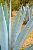 Blauwe agave in de plaats op het gras stock foto's