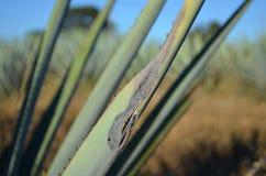 Blauwe agaveziekte Stock Fotografie