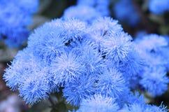 Blauwe ageratum royalty-vrije stock fotografie