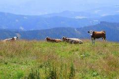 Blauwe alpen met koe Royalty-vrije Stock Afbeeldingen