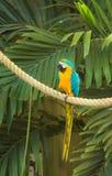 Blauwe & Gouden Ara Royalty-vrije Stock Foto