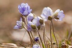 Blauwe anemonen Stock Afbeeldingen