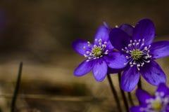 Blauwe Anemonen Stock Fotografie