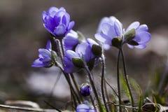 Blauwe Anemonen Royalty-vrije Stock Afbeeldingen