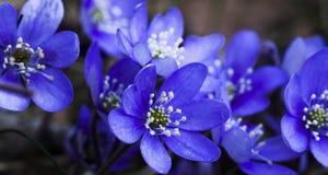 Blauwe Anemonen Stock Afbeelding