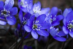 Blauwe Anemonen Royalty-vrije Stock Fotografie