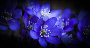 Blauwe Anemonen Royalty-vrije Stock Foto