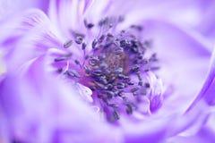 Blauwe anemoon Royalty-vrije Stock Foto's