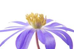 Blauwe anemoon royalty-vrije stock fotografie