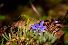 Blauwe Anemoon en pijnboom Stock Fotografie