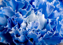 Blauwe anjer Royalty-vrije Stock Afbeeldingen