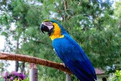 Blauwe Ara stock foto's
