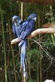 Blauwe ara's Royalty-vrije Stock Afbeelding