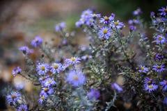 Blauwe asterbloemen royalty-vrije stock afbeeldingen