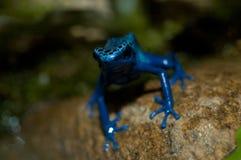 Blauwe azureus van kikkerDendrobates Stock Afbeeldingen