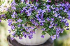 Blauwe bacopa stock afbeelding