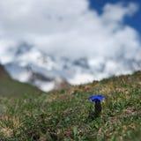 Blauwe bergbloemen Royalty-vrije Stock Afbeeldingen
