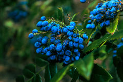 Blauwe Bessen Stock Fotografie