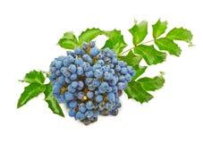 Blauwe bessen van de druif van Oregon Royalty-vrije Stock Afbeelding