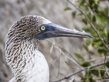 Blauwe betaalde domoor bij het eiland van de Galapagos van het Noorden Seymour Stock Foto