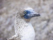 Blauwe betaalde domoor bij het eiland van de Galapagos van het Noorden Seymour Stock Afbeeldingen