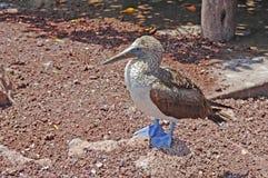 Blauwe Betaalde Domoor, de Eilanden van de Galapagos Royalty-vrije Stock Fotografie