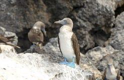 Blauwe betaalde Domoor, de Eilanden van de Galapagos Royalty-vrije Stock Afbeelding