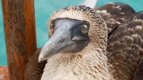 Blauwe Betaalde Domoor, de Eilanden van de Galapagos Stock Afbeelding