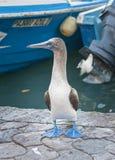 Blauwe Betaalde Domoor, de Eilanden van de Galapagos, Ecuador stock afbeelding