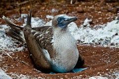 Blauwe betaalde domoor die in de Eilanden van de Galapagos nestelen Royalty-vrije Stock Foto