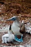 Blauwe betaalde domoor met kuiken in de Galapagos Stock Afbeelding