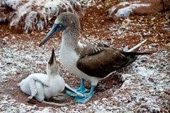 Blauwe betaalde domoor met kuiken in de Galapagos Royalty-vrije Stock Afbeeldingen