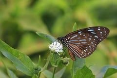 Blauwe Bevlekte Milkweed-vlinder Stock Foto