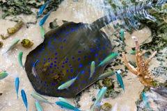 Blauwe bevlekte straal Royalty-vrije Stock Fotografie